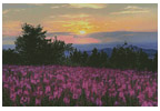 Fireweed Field - Cross Stitch Chart