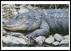 Alligator 1 - Cross Stitch Chart