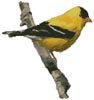 American Gold Finch - Cross Stitch Chart