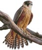 Australian Hobby - Cross Stitch Chart