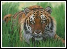 Bengal Tiger in Grass - Cross Stitch Chart
