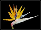 Bird Of Paradise - Cross Stitch Chart