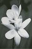 Black and White Frangipani - Cross Stitch Chart