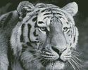 Black and White Tiger - (Facebook Group) Cross Stitch Chart