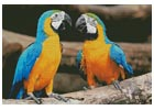Blue and Yellow Macaws - Cross Stitch Chart