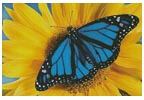 Blue Monarch Sunflower - Cross Stitch Chart