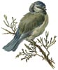 Blue Tit - Cross Stitch Chart