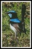 Blue Wren - Cross Stitch Chart