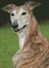 Brindle Greyhound - Cross Stitch Chart