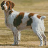 Brittany Spaniel - Cross Stitch Chart
