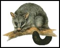 Brush Tail Possum - Cross Stitch Chart