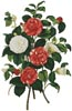 Camellias 1 - Cross Stitch Chart