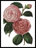 Camellias 5 - Cross Stitch Chart