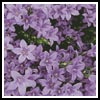 Campanula - Cross Stitch Chart