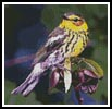Cape May Warbler - Cross Stitch Chart