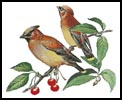 Cedar Wax Wing - Cross Stitch Chart
