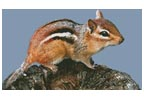 Chipmunk - Cross Stitch Chart