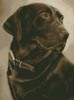 Chocolate Labrador - Cross Stitch Chart