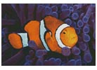 Clownfish in Anemone - Cross Stitch Chart
