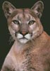 Cougar - Cross Stitch Chart