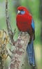 Crimson Rosella Photo - Cross Stitch Chart