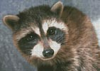 Cute Raccoon - Cross Stitch Chart