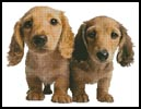Dachshund Puppies - Cross Stitch Chart