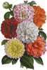 Dahlias Print - Cross Stitch Chart