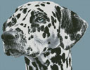 Dalmatian Portrait - Cross Stitch Chart