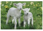 Easter Lambs - Cross Stitch Chart