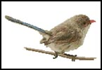 Female Splendid Fairy Wren - Cross Stitch Chart