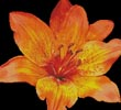 Fire Lily Photo - Cross Stitch Chart