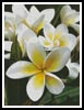 Frangipani 1 - Cross Stitch Chart