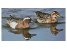 Garganey Ducks - Cross Stitch Chart