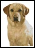Golden Labrador - Cross Stitch Chart