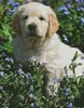 Golden Retriever Forget me not - Cross Stitch Chart