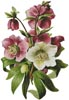 Hellebore - Cross Stitch Chart