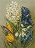 Hyacinths,Crocus,Snowdrops and Scillas - Cross Stitch Chart