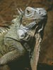 Iguana - Cross Stitch Chart