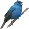 Indigo Bunting - Cross Stitch Chart