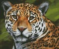 Jaguar Portrait - Cross Stitch Chart
