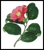 Japanese Camellia - Cross Stitch Chart