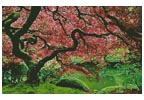 Japanese Maple - Cross Stitch Chart
