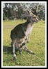 Kangaroo and Joey - Cross Stitch Chart