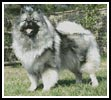 Keeshond - Cross Stitch Chart