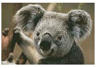 Koala Portrait - Cross Stitch Chart