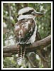 Kookaburra - Cross Stitch Chart
