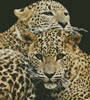 Leopards - Cross Stitch Chart