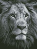 Lion Close up (Black and White) - Cross Stitch Chart