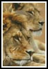 Lion Couple - Cross Stitch Chart